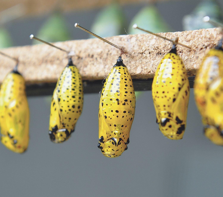 Insektenlarven, die sich verpuppt haben. Ihnen steht ein großer Wandel bevor.